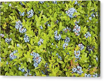 Ripe Maine Low Bush Wild Blueberries Canvas Print by Keith Webber Jr