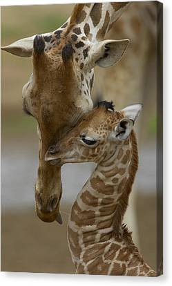 Rothschild Giraffe And Calf Canvas Print by San Diego Zoo
