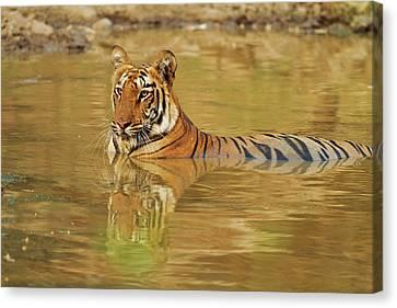 Royal Bengal Tiger At The Waterhole Canvas Print