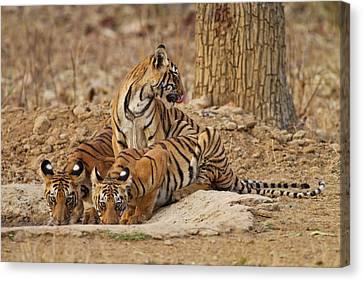 Royal Bengal Tiger Cubs Canvas Print by Jagdeep Rajput