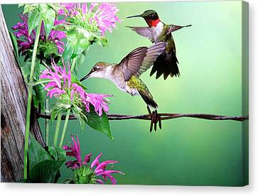 Ruby-throated Hummingbird (archilochus Canvas Print