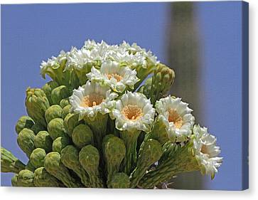 Saguaro Flower And Buds  Canvas Print by Tom Janca