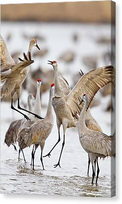 Sandhill Cranes Dancing On The Platte Canvas Print by Chuck Haney