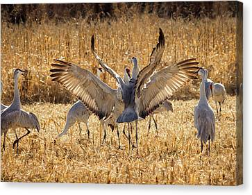 Sandhill Cranes In The Corn Fields Canvas Print by Maresa Pryor