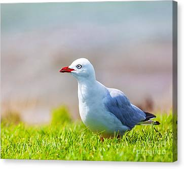Seagull Canvas Print by MotHaiBaPhoto Prints