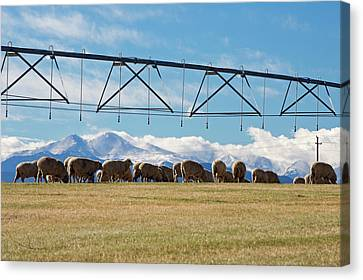 Sheep Grazing Under An Irrigation Boom Canvas Print by Jim West