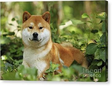 Shiba Inu Dog Canvas Print by Jean-Michel Labat