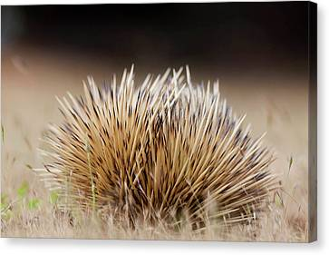Short-beaked Echidna (tachyglossus Canvas Print by Martin Zwick