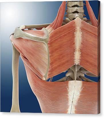 Shoulder And Back Anatomy Canvas Print by Springer Medizin
