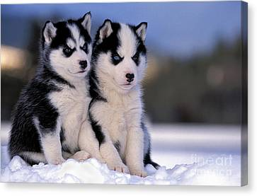 Siberian Husky Puppies Canvas Print by Rolf Kopfle
