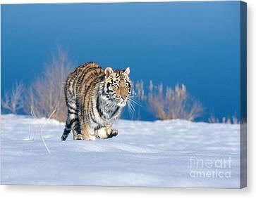 Siberian Tiger Canvas Print by Alan Carey