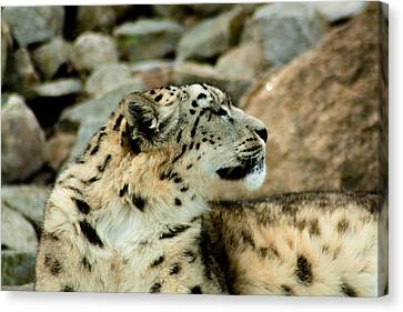 Snow Leopard Canvas Print by Daniel Precht