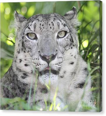 Snow Leopard Canvas Print by John Telfer