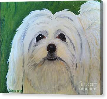 Canvas Print featuring the painting Snowball - Maltese Shih Tzu by Shelia Kempf