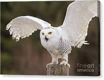 Snowy Owl Canvas Print by Les Palenik
