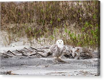 Snowy Owl Little Talbot Island State Park Florida Canvas Print by Dawna  Moore Photography