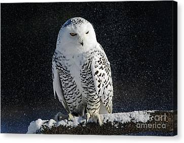 Shelley Myke Canvas Print - Snowy Owl On A Twilight Winter Night by Inspired Nature Photography Fine Art Photography