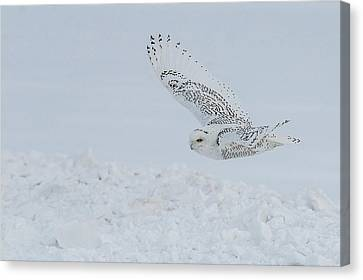 Canvas Print featuring the photograph Snowy Owl #2/3 by Patti Deters