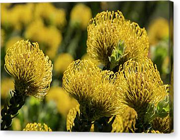 Close Focus Floral Canvas Print - South Africa, Cape Town by Cindy Miller Hopkins
