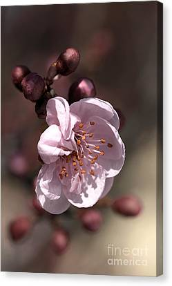 Canvas Print featuring the photograph Spring Blossom by Joy Watson