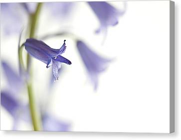 Spring Bluebells Canvas Print by Carol Leigh