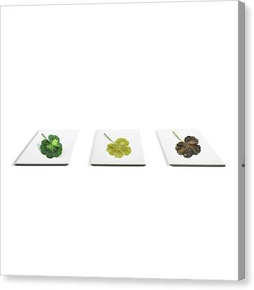 Starch Content Of Leaves Canvas Print by Science Photo Library