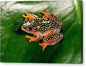 Starry Night Reed Frog, Heterixalus Canvas Print