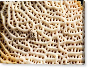 Steganoporella Bryozoan Canvas Print by Natural History Museum, London