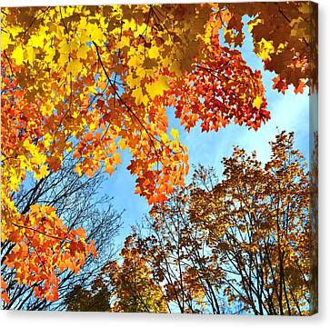 Sugar Maple Canopy Canvas Print by Ray Mathis