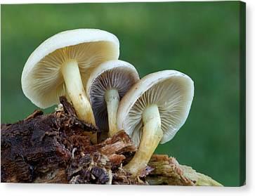 Toadstools Canvas Print - Sulphur Tuft Fungus by Nigel Downer