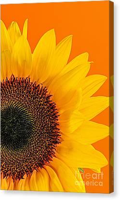 Sunflower Closeup Canvas Print by Elena Elisseeva