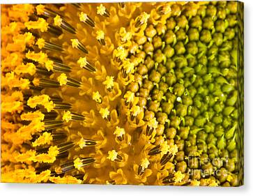 Sunflower Petals Canvas Print by Mythja  Photography