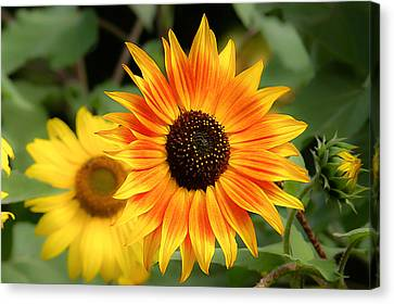 Canvas Print featuring the photograph Sunflowers by Dennis Bucklin