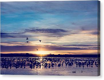 Sunrise - Snow Geese - Birds Canvas Print by SharaLee Art