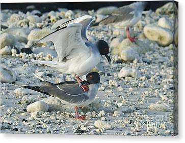 Swallow-tailed Gulls Mating Canvas Print by William H. Mullins
