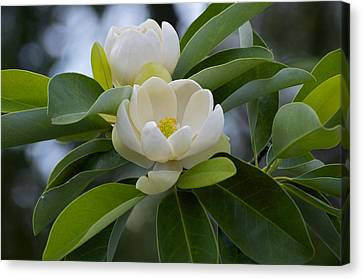 Swamp Magnolia Canvas Print