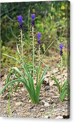 Tassel Hyacinth (muscari Comosum) Canvas Print by Bob Gibbons