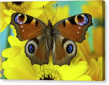 The European Peacock Butterfly, Inachis Canvas Print