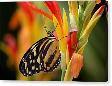The Postman Butterfly Canvas Print by Saija  Lehtonen