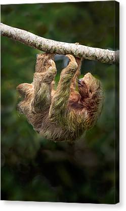 Three-toed Sloth Bradypus Tridactylus Canvas Print by Panoramic Images