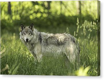 Timber Wolf Canvas Print by Josef Pittner