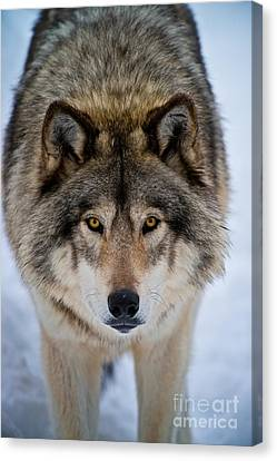 Canvas Print - Timber Wolf Picture by Michael Cummings