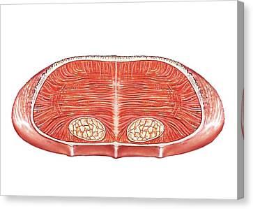 Median Canvas Print - Tongue by Asklepios Medical Atlas