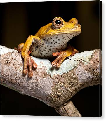 Tree Frog On Twig In Rainforest Canvas Print by Dirk Ercken