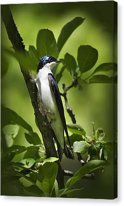 Tree Swallow Canvas Print by Christina Rollo