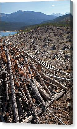 Trees Killed By Mountain Pine Beetles Canvas Print