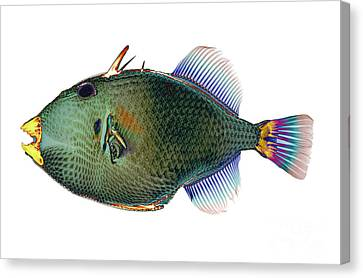Triggerfish X-ray Canvas Print by D Roberts