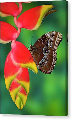 Tropical Butterfly The Blue Morpho Canvas Print