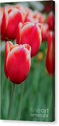 Tulips Canvas Print by April Antonia