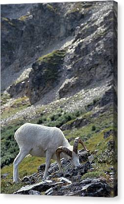 Usa, Alaska, Dall Sheep, Dall Ram Canvas Print